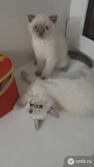 Продам котят. Фото 1.