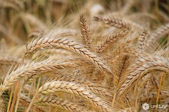 Ячмень и пшеница нового урожая. Фото 1.