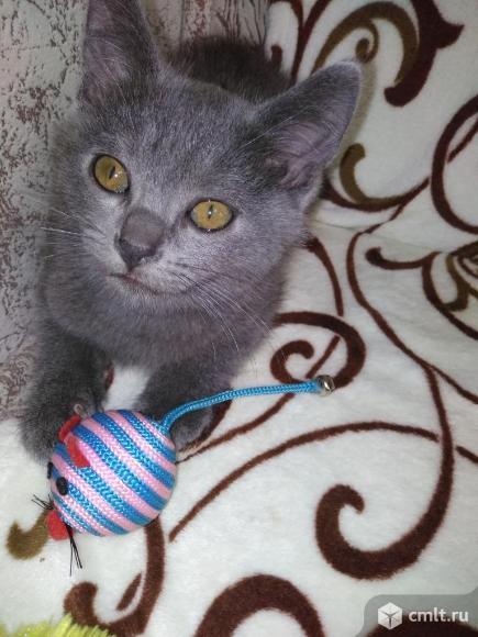 Шотландский котик. Фото 1.