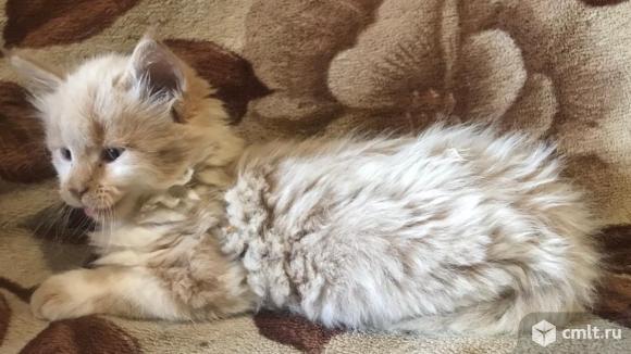 Продам котяток  мейн кун. Фото 1.