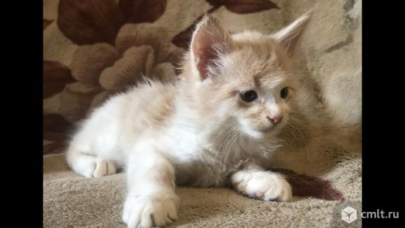 Продам котяток  мейн кун. Фото 5.