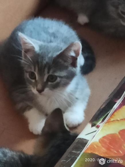 Отдам даром котят британской кошки. Фото 10.