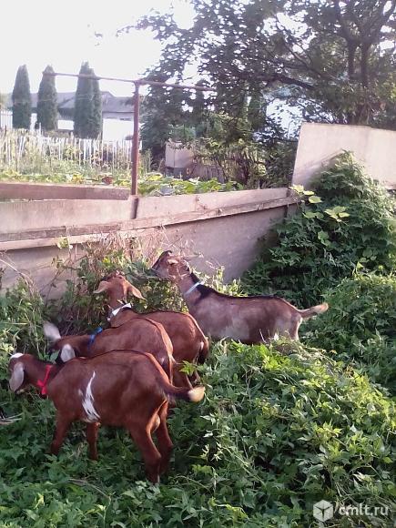 Продаю козликов  нубийской и альпо-нубийской породы. Фото 4.