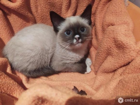 Котенок сиамского окраса. Фото 1.