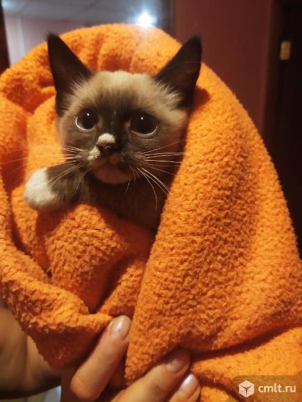 Котенок сиамского окраса. Фото 3.