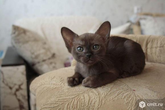 Продажа Бурманского котенка. Фото 2.