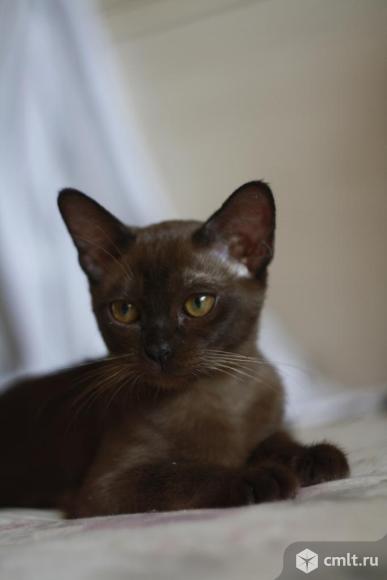 Продажа Бурманского котенка. Фото 1.
