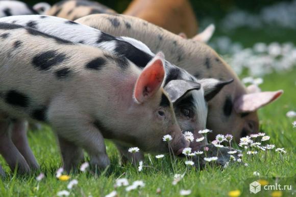 Поросят крупной мясной породы , тёлку 4 мес. продаю. Фото 1.