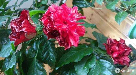 Гибискус, китайская роза, алая. Фото 1.