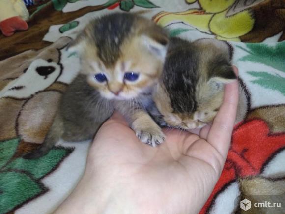Продам шотландских котят. Фото 1.