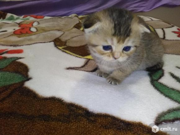 Продам шотландских котят. Фото 7.