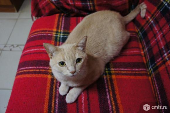 Кошечка Персия в добрые руки. Фото 1.