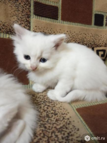 Котята ангорской породы. Фото 1.