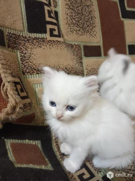 Котята ангорской породы. Фото 4.