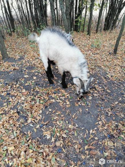 Крепкий козёл. Фото 8.