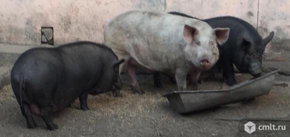 Свиноматки. Фото 2.