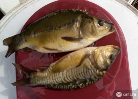 Рыбопосадочный материал (карп, толстолобик, белый амур). Фото 1.