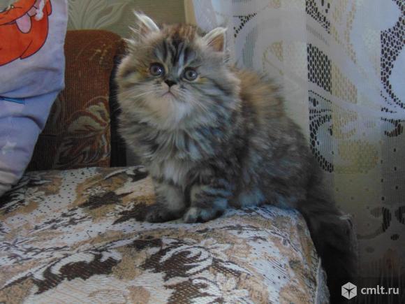 Шикарная персидская кошечка. Фото 1.