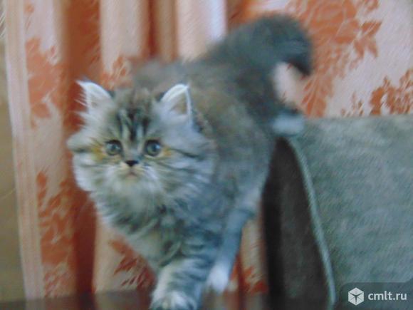 Шикарная персидская кошечка. Фото 4.