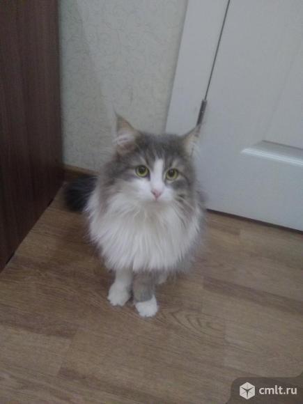 Отдам бесплатно сибирского кота. Фото 1.