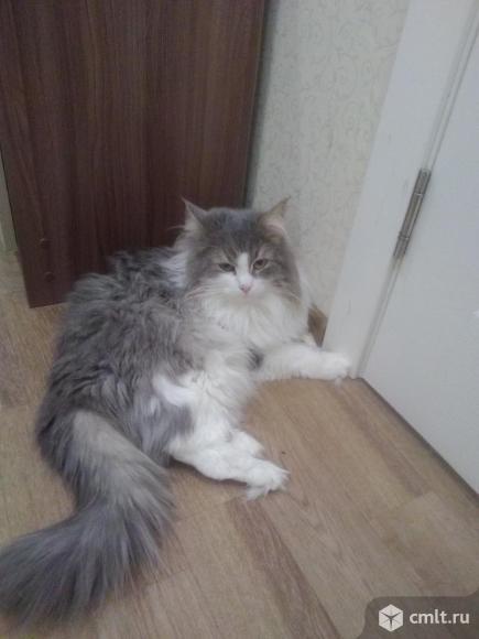 Отдам бесплатно сибирского кота. Фото 3.