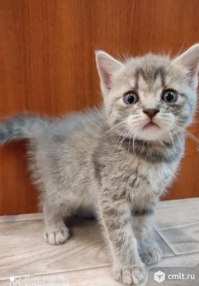 Продам шотландских котят. Фото 4.