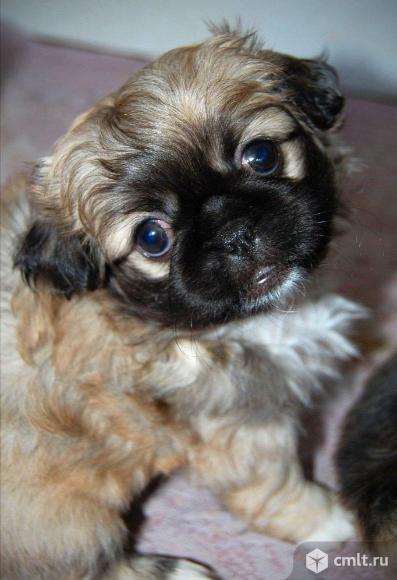 пекинес щенки. Фото 1.