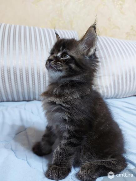 Котята мейн кун. Фото 12.