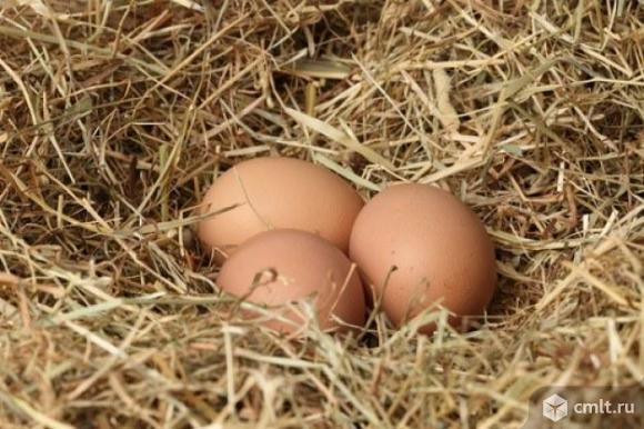 Яйцо инкубацыонное. Фото 1.