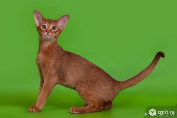 Продается абиссинский котенок. Фото 1.