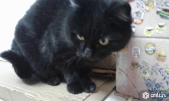 Котик шотландский прямоухий. Фото 5.