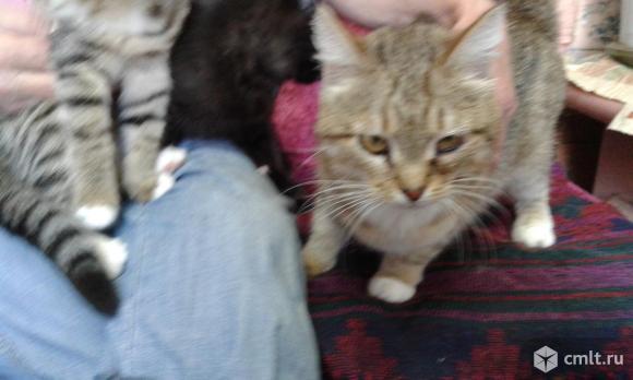 Кошечка шотландская прямоухая. Фото 1.