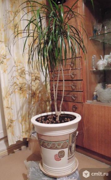 Цветок драцена (Пальма) в керамическом горшке. На подставке с колесами.. Фото 3.