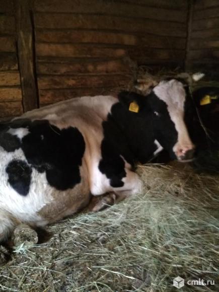 Корова. Фото 1.
