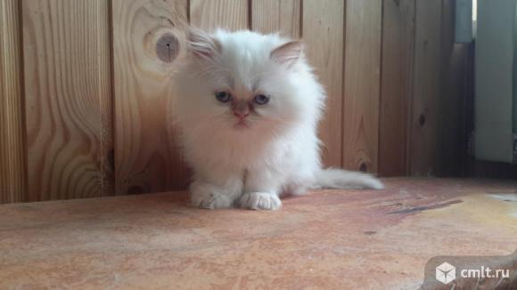 Персидские котята. Фото 1.