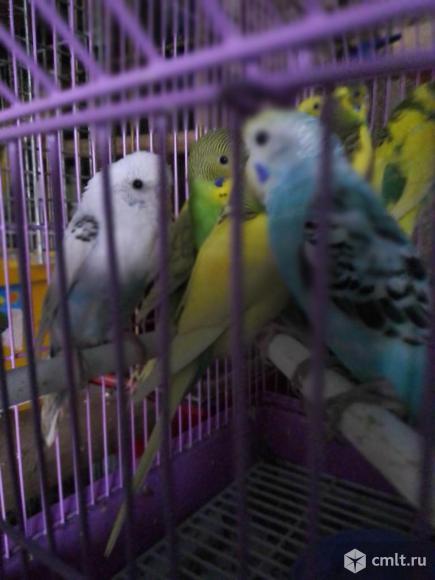 Волнистые попугайчики. Фото 1.