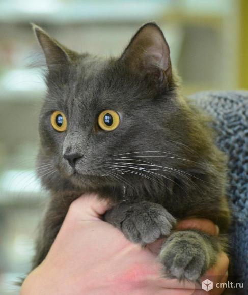 Шикарный кот в добрые руки. Фото 1.