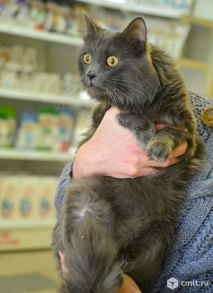 Шикарный кот в добрые руки. Фото 2.