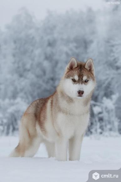 Продаются подрощенные щенки Сибирский Хаски. Фото 1.