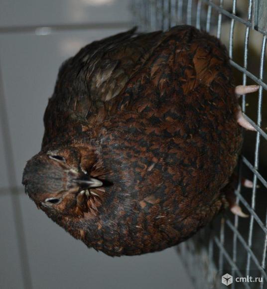 Продам Инкубационное яйцо 8 пород перепелов. Фото 7.
