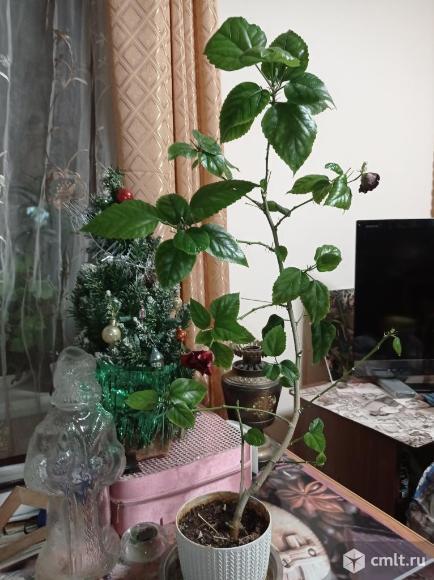 Гибискус, китайская роза, алая. Фото 6.