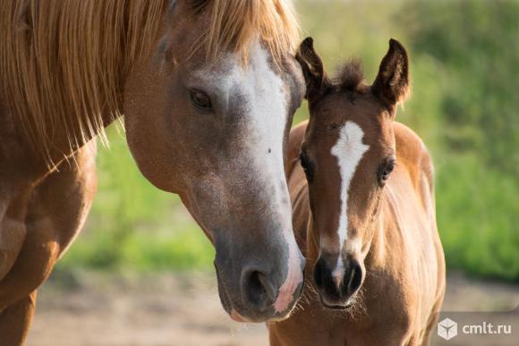 Лошади и жеребята от производителя.. Фото 1.