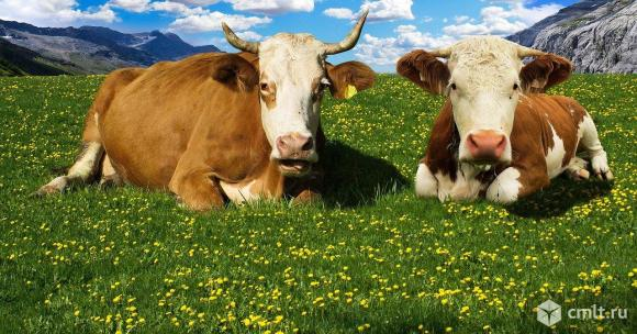 Коровы мясных пород живым весом на убой.. Фото 1.