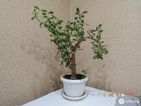 Цветок - Денежное дерево (Толстянка). Фото 1.