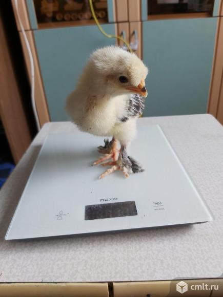 Цыплята мясояичные. Фото 6.