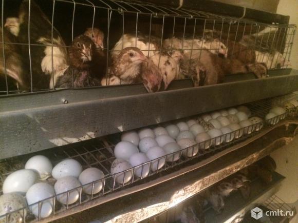 Голубые яйца .Перепела Селадон. Фото 8.