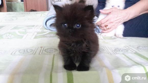 Персидские котята. Фото 7.