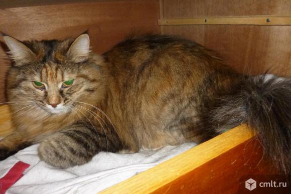 Молодая кошка красавица Мусенька - в ответственные руки. Фото 1.