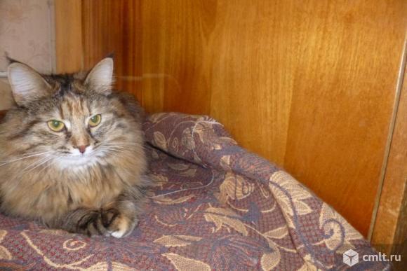 Молодая кошка красавица Мусенька - в ответственные руки. Фото 3.