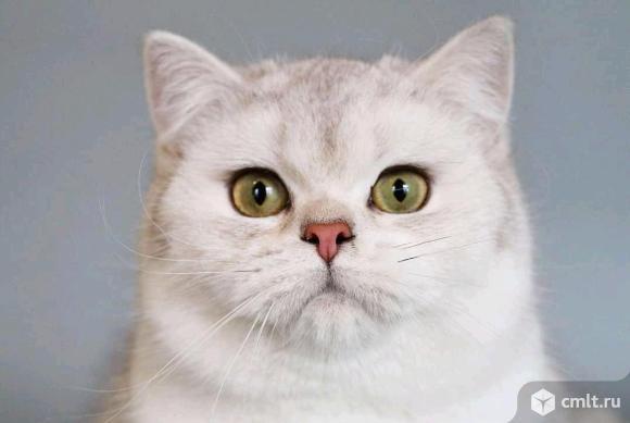 Британская серебристая шиншилла. Фото 1.